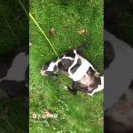 Bulldog rolling on the grassmat爆笑法斗草坪打滚