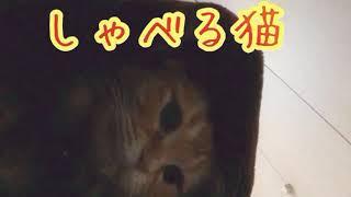 【爆笑】会話する猫w笑