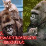 【涙腺崩壊】手話が出来る奇跡のゴリラ「ココ」の感動物語
