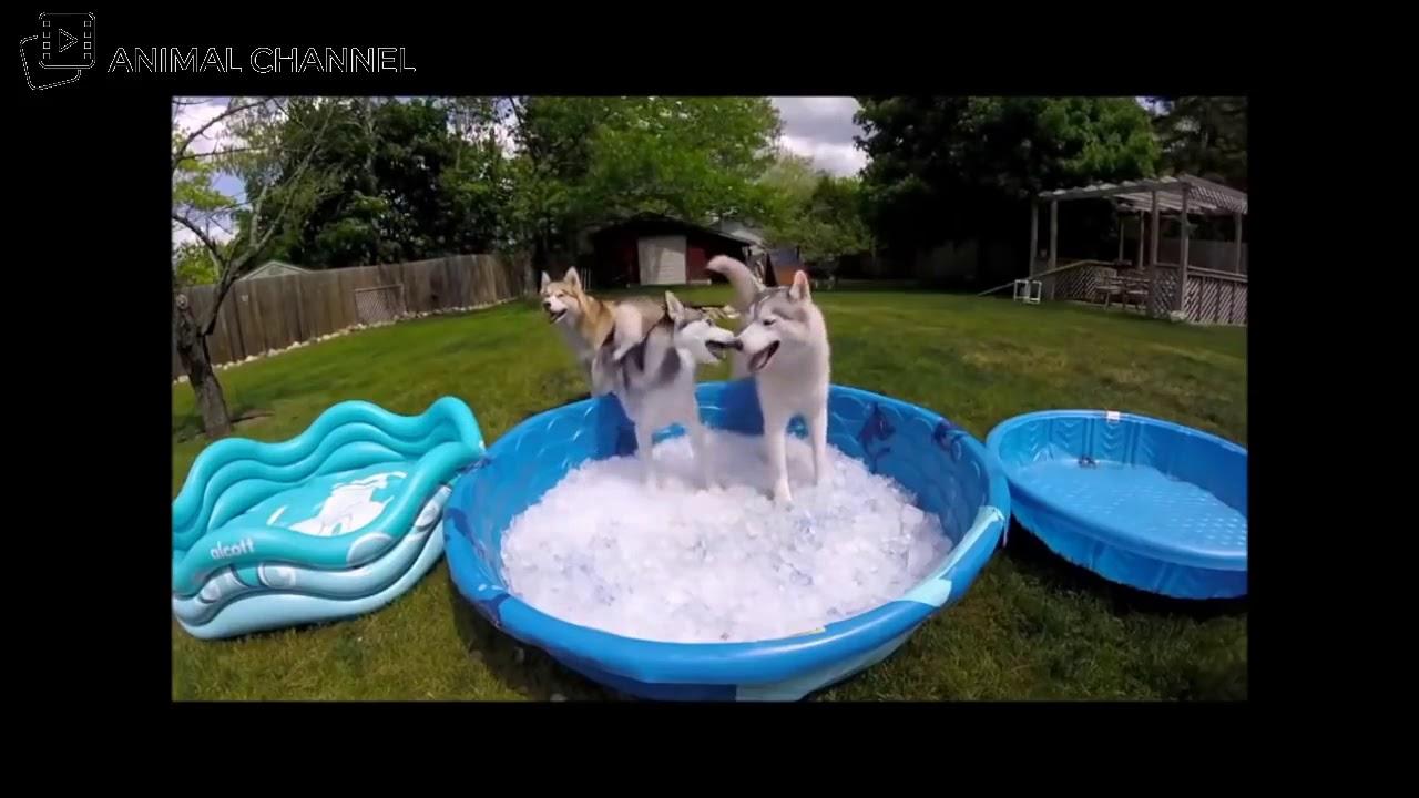 かわいいハスキー犬&マラミュートの最高に可愛い・おもしろハプニング動画集 #1