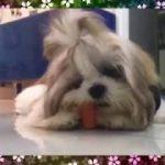 可愛い過ぎるふわもこシーズー犬の動画。かわいい、面白、驚き、ブサカワ犬猫動画【channel N pretty】