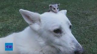 【動物 感動 物語】驚きの光景!種別の壁を越えて唯一無二のペアーに!里親の犬が育てたのは。。。
