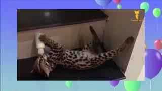おかしい猫   かわいい猫   おもしろ猫動画