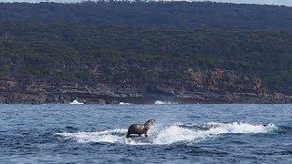 驚き映像 クジラの背に乗るアザラシの写真が話題