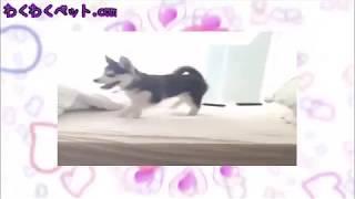 【犬 おもしろ かわいい】おねしょしちゃったハスキーの子犬がベッドから降りれなくて・・・(汗)【わくわくペット.com】