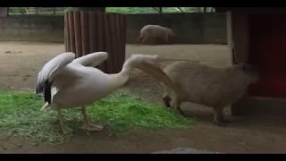 動物 おもしろ ハプニング・カピバラにかぶりつくペリカン – Funny animal Video  Pelican bite Capybara