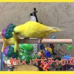 【おもしろインコ】セキセイインコ おもちゃ遊び