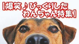 【爆笑♪びっくりしたわんちゃん特集】可愛すぎる動物たち!おもしろ!ハプニング!犬 猫 動物 爆笑