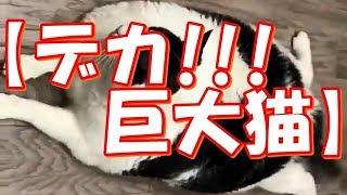 【びっくり巨大猫ちゃん・他】可愛すぎる動物たち!おもしろ!ハプニング!犬 猫 動物 爆笑