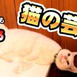 【神業】芸をする猫!【おやつ無しでできちゃう!】