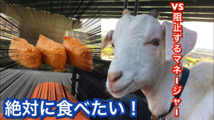 【動物おもしろ】絶対にご飯が食べたいヤギさんvsマネージャー