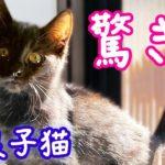 <野良子猫>驚き!酷い猫風邪だった子猫めめ 1週間治療した結果!- Kitten Rescue recovering well.《2匹の猫通信/Cats Life TV》