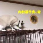【神業ねこ】カーテン渡り猫  ´艸`