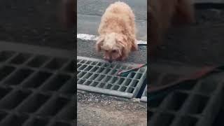 【おもしろ】排水溝の網が怖すぎる犬!笑