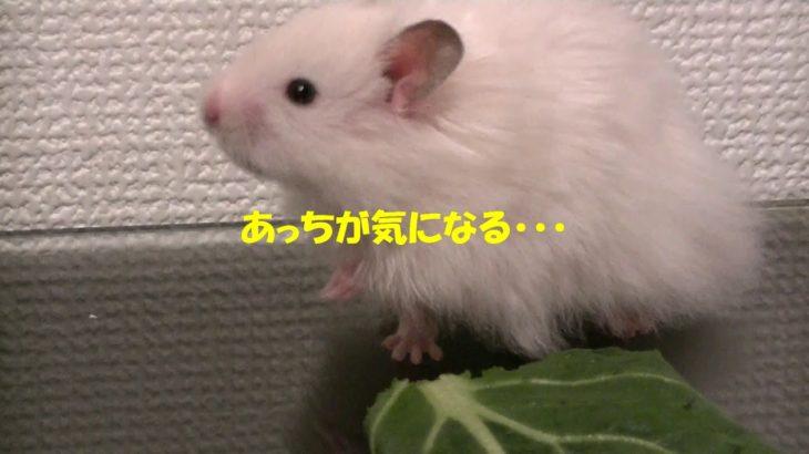 初生野菜に感動もあっちが気になる ハムスター小次郎