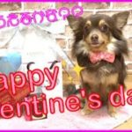 Happy Valentine !! チワワ の ファルちゃん おもしろ犬動画!! ハッピー バレンタイン‼︎