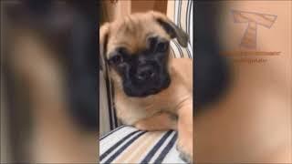 【フレンチブル】ゴールデンレトリバーが可愛い/おもしろペット総集編【犬】