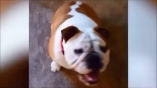 【パグ】フレンチブル、ゴールデンレトリバーが可愛い/おもしろペット総集編【犬】