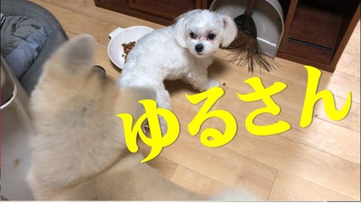 ちゅーぶは意外と強かった!驚きの検証映像! #マルチーズ #秋田犬