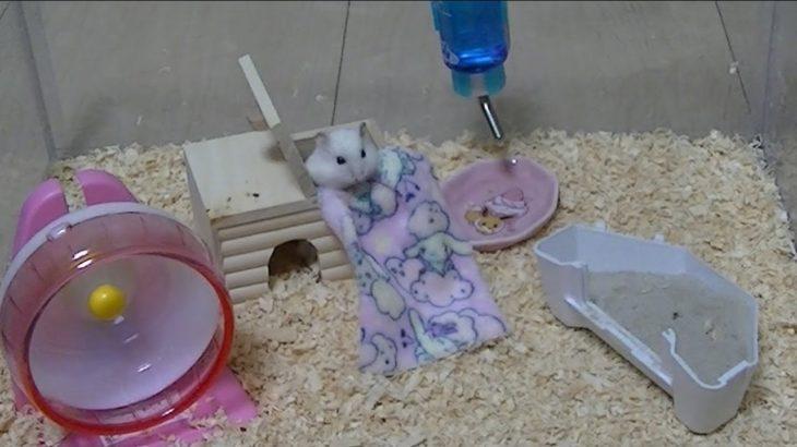 【ハムスター】新しくなったお部屋を散策するバニラちゃん かわいいおもしろ癒し動画 Hamsters Vanilla to explore the new rooms