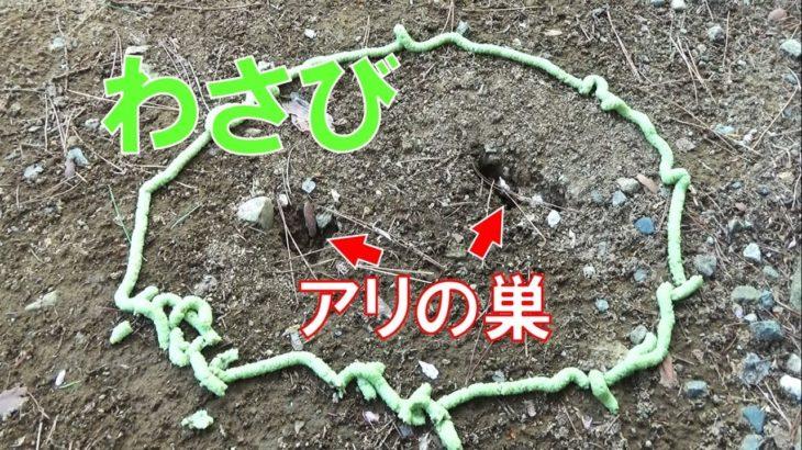 アリの巣穴をワサビで囲んだら驚きの結果に…