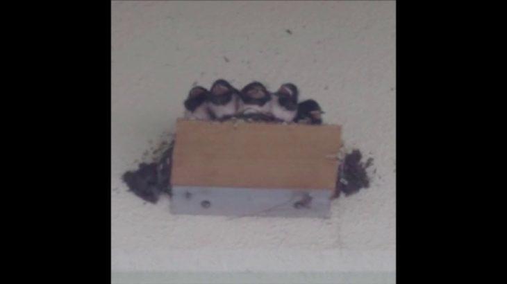 【動物おもしろ動画】親鳥がフェイントを仕掛けてきた